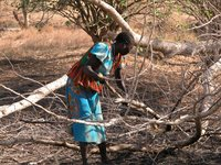 Nuba woman gathers firewood