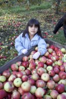 Harvest Dropping Off Apples