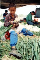 Migrants Work As A Family Unit Harvesting Onions