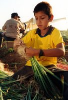 Boy And Father Work As A Family Unit Harvesting Onions