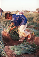 Young Migrant Worker Harvests Onions In Mexico