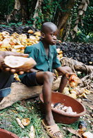 Boy At Work On Cocoa Farm